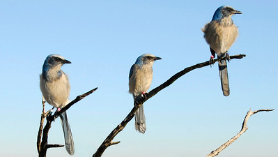 A family group of Florida Scrub-Jays, a cooperatively breeding species