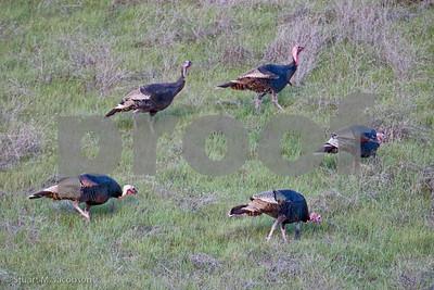 Here turkey, turkey, turkey,,,      20070216-_F7A1682