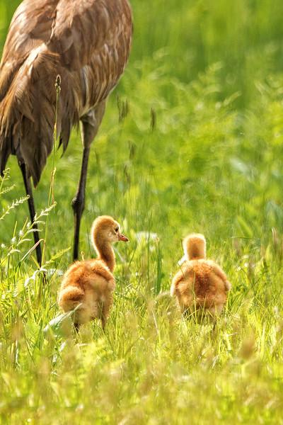 Sandhill Crane Babies
