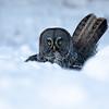 Great grey owl, Strix nebulosa, with prey near Westlock, Alberta, Canada.