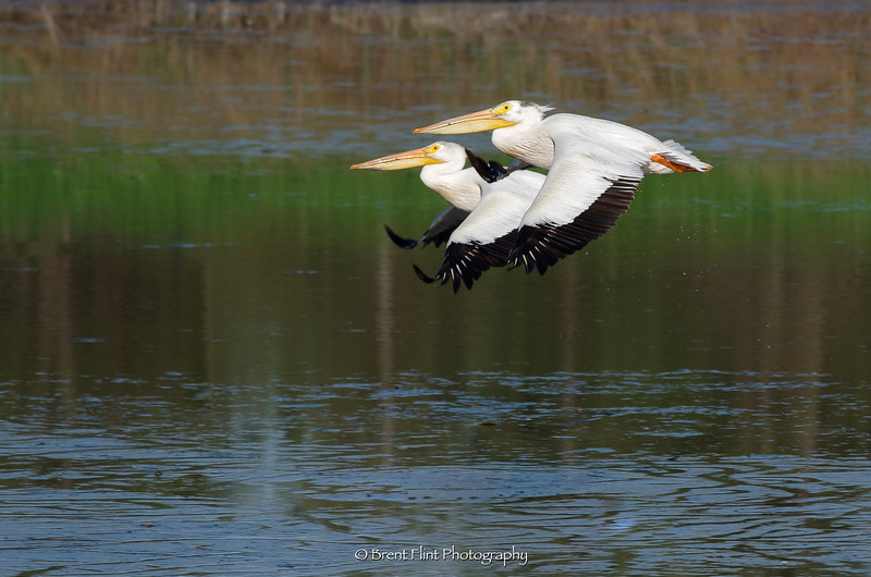 DF.5384 - white pelicans in flight, Turnbull National Wildlife Refuge, WA.