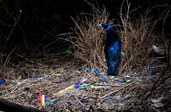 satin bowerbird Maintaing its bower