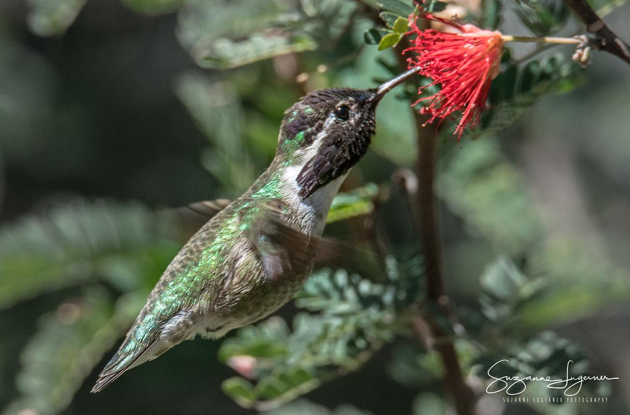 Hummingbird Sipping Mimosa