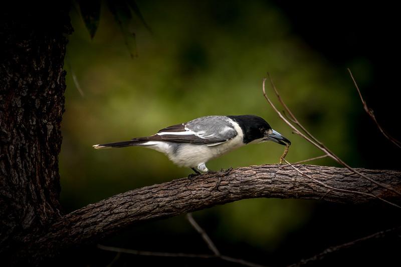 Grey Butcherbird, Chevallum