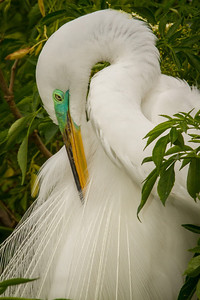 Great Egret, nesting