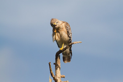 Red-shouldered Hawk-7327