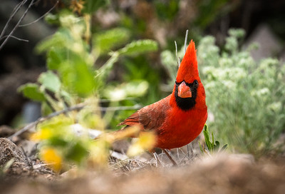 Cardinal1