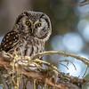 Boreal owl, Aegolius funereus, in Jasper National Park, Alberta, Canada.
