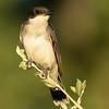 Eastern kingbird, Tyrannus tyrannus, in Lethbridge, Alberta, Canada.