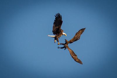 Bald Eagles 1403-2368