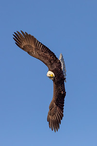 Bald Eagle 20200316 0434 Vertical Blue Sky