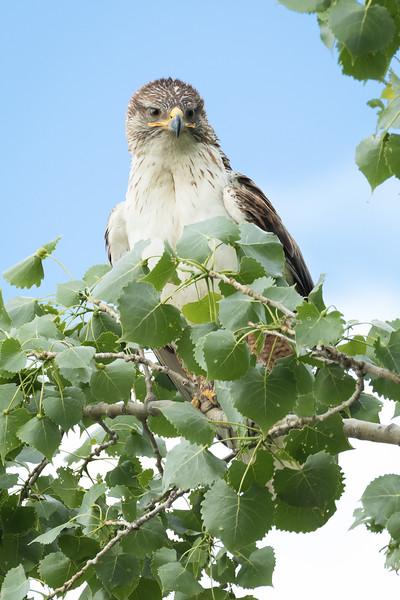 Ferruginous hawk, Buteo regalis, near Medicine Hat, Alberta, Canada.