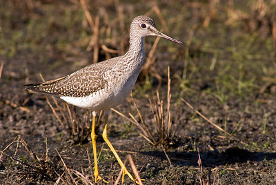 Greater yellowlegs in a seasonal pond at Archbold Biological Station