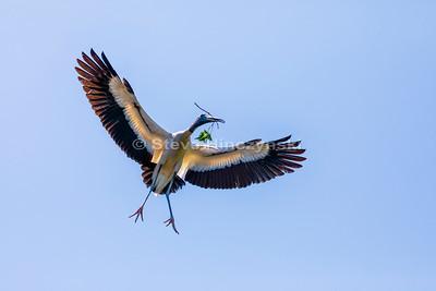 Wood Stork 0042