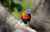 Rainbow Lorikeet<br /> Keppel Island, Australia<br /> <br /> The brightly-colored plummage of the Rainbow Lorikeet is beautiful and eye-catching.  Noisy and gregarious birds, they are fun to photograph.