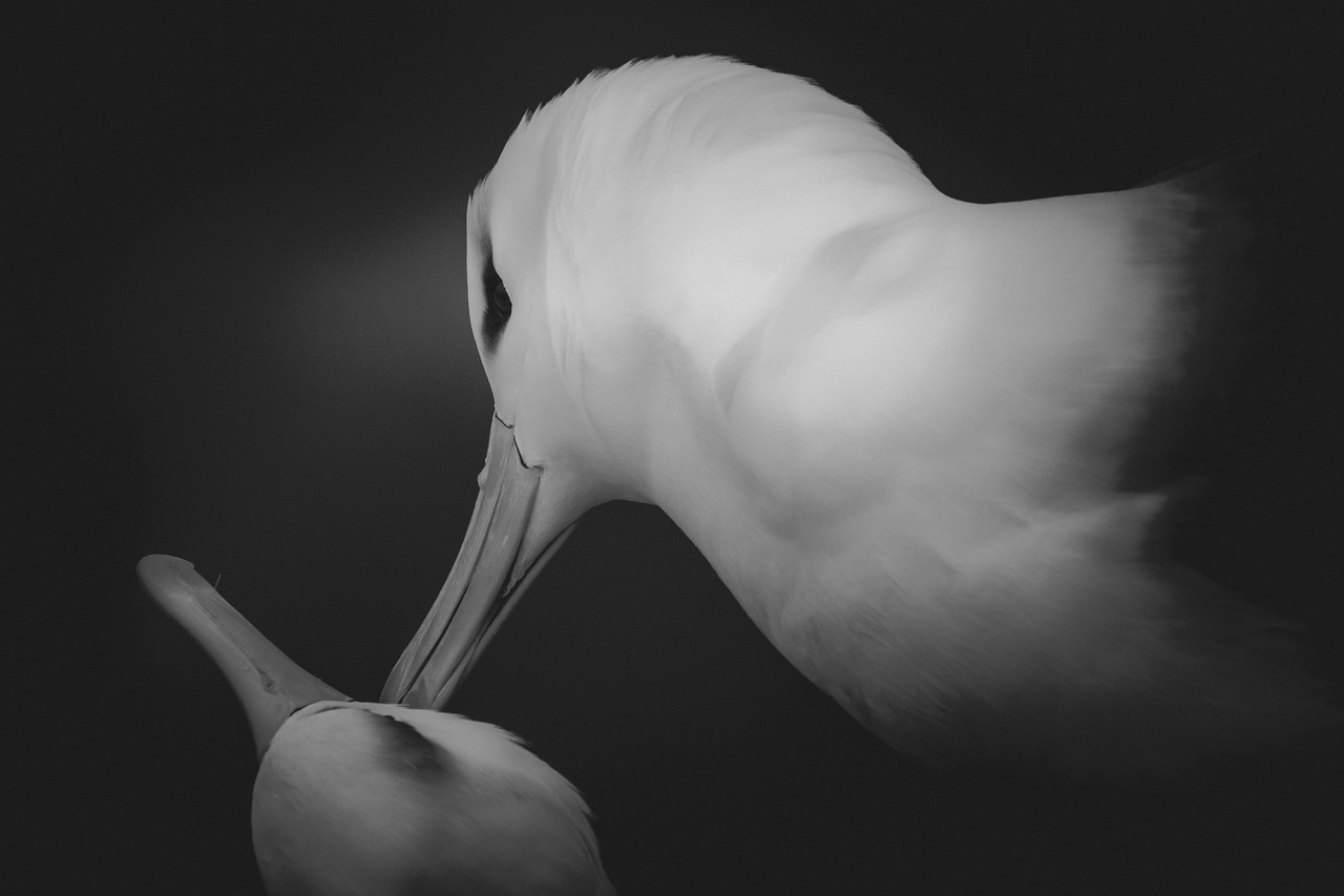 Black-browed albatross pair, Saunders Island, Falklands