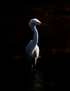 Dark Glow Light & Shadow Snowy Egret