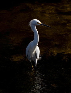Light & Shadow Snowy Egret