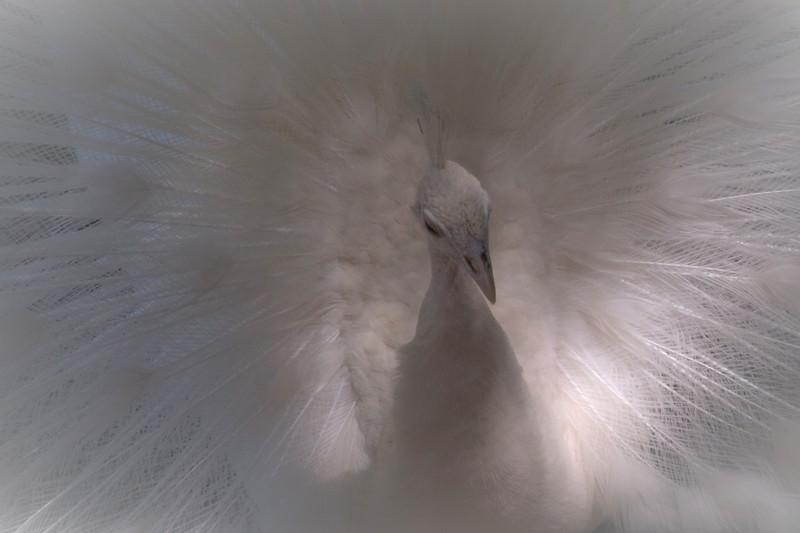 White peacock, Santiago, Cjile