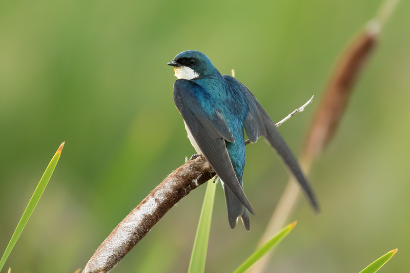 Tree swallow, Tachycineta bicolor, near Dawson Creek, British Columbia, Canada.