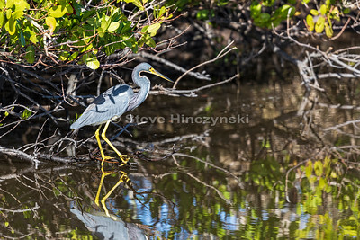 Tricolored Heron 0036