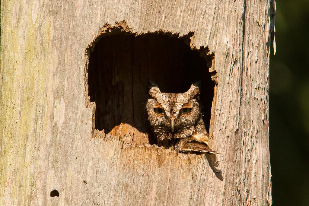 Screech Owl BRD1405-5681