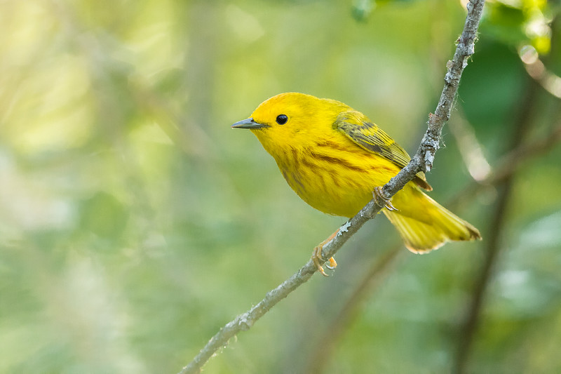 Yellow warbler, Setophaga petechia, near Bear Canyon, Alberta, Canada.