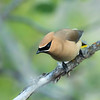 Cedar waxwing, Bombycilla cedrorum, in Waterton Lakes National Park, Alberta, Canada.