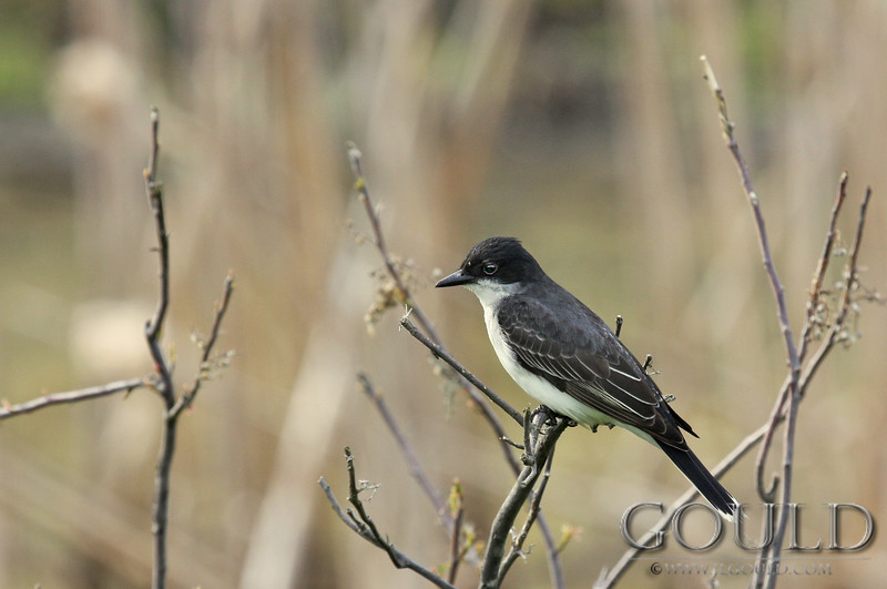 Kingbird Rest