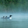 Common loons, Gavia immer, portrait near Stony Plain, Alberta, Canada.