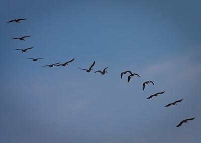 Migrating Pelicans