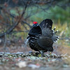 Spruce grouse, Falcipennis canadensis, displaying in Jasper National Park, Alberta, Canada.