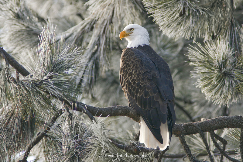 DF.1351 - bald eagle in frosted pine, Coeur d' Alene National Forest, ID.