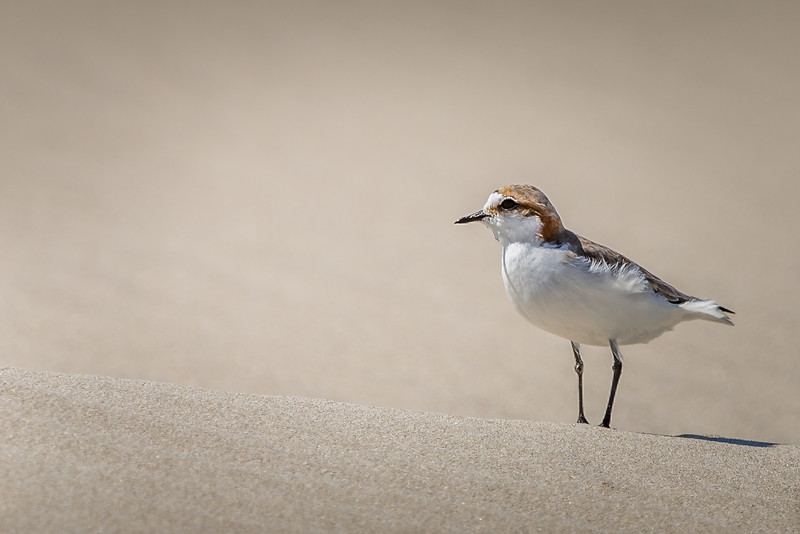 Red-capped plover, South Australia