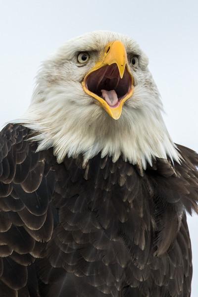 Bald eagle, Haliaeetus leucocephalus, calling in Boundary Bay, British Columbia, Canada.