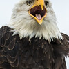 Bald eagle, Haliaeetus leucocephalus, calling in Boundary Bay, British Columbia, Canada.