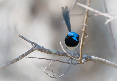 Male Variegated Fairy-wren, Currimundi
