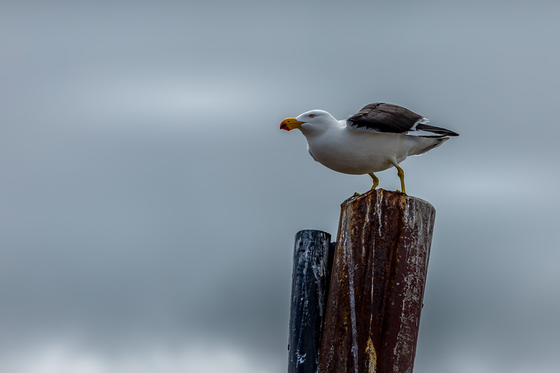 Pacific gull, Kingston, SA
