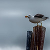 Pacific gull, Kingston, SA
