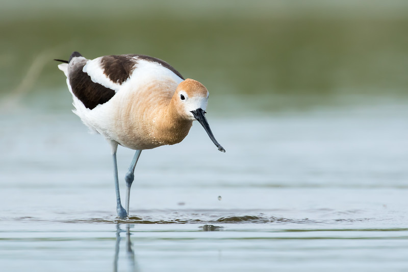 American avocet, Recurvirostra americana, wading in shallow water in southern Alberta, Canada.