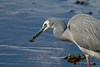 Heron and prey