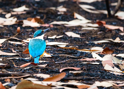 The Sacred Kingfisher