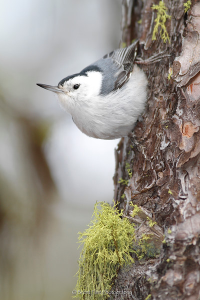 DF.1581 - white-breasted nuthatch, Turnbull National Wildlife Refuge, WA.