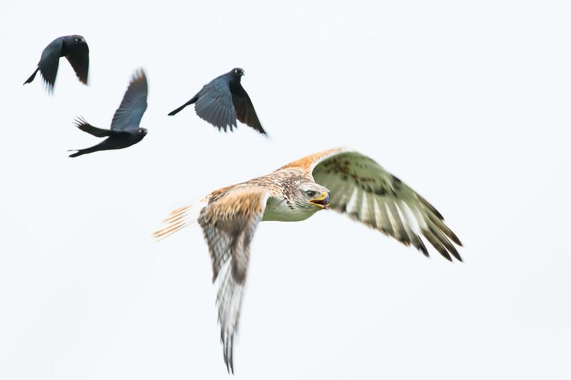 Ferruginous hawk, Buteo regalis, and Brewer's blackbirds, Euphagus cyanocephalus, near Monarch, Alberta, Canada.