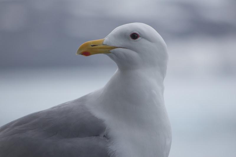 Glaucus-winged gull, Alaska