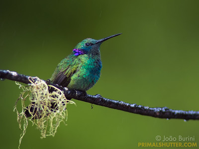 Violet eared humming bird in the rain