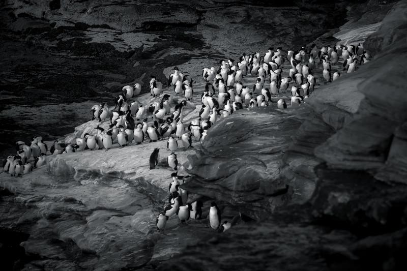 Cormorants and rockhopper penguins, Saunders Island, Falklands