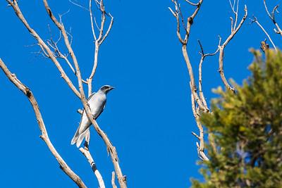 Blackfaced Cuckoo Shrike