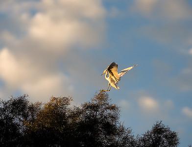 egret landing_MG_0099