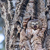 Northern saw-whet owl, Aegolius acadicus, yawning from a tree cavity in St. Albert, Alberta, Canada.